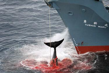 La baleine en danger