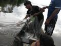 IMG_5651 pesca no Rio Jutai